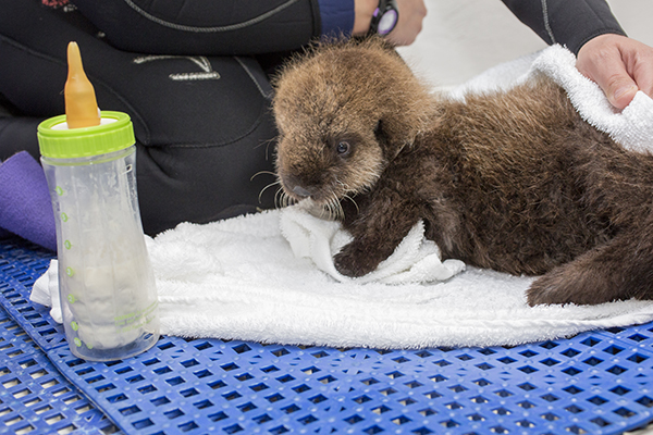 Sea Otter Pup 681 Goes for a Swim and Lounges Poolside 3