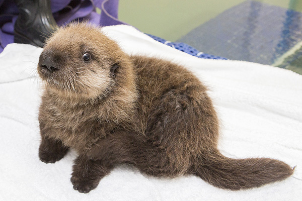 Sea Otter Pup 681 Has Some Towel Time and Plays with Her Toys 2