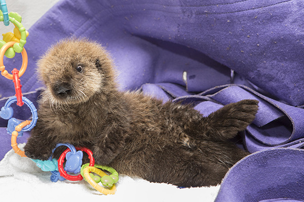 Sea Otter Pup 681 Has Some Towel Time and Plays with Her Toys 3