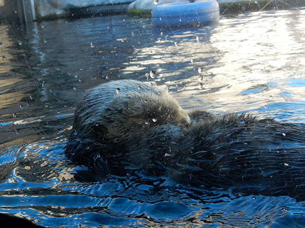 Sea Otter Tucks Her Chin to Her Chest for a Quick Snooze