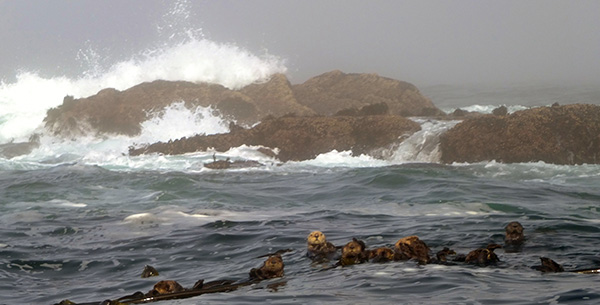 Sea Otters Float Amid Crashing Waves