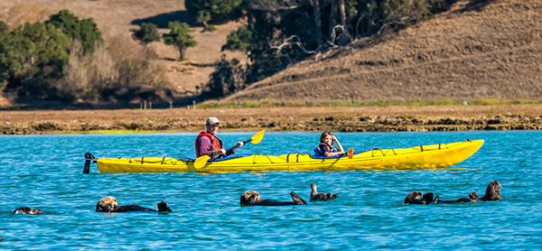 Sea Otters and Kayakers Pass Each Other on the Water