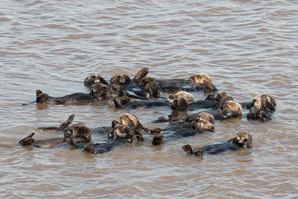 A Raft of Sea Otters Just Hanging Out