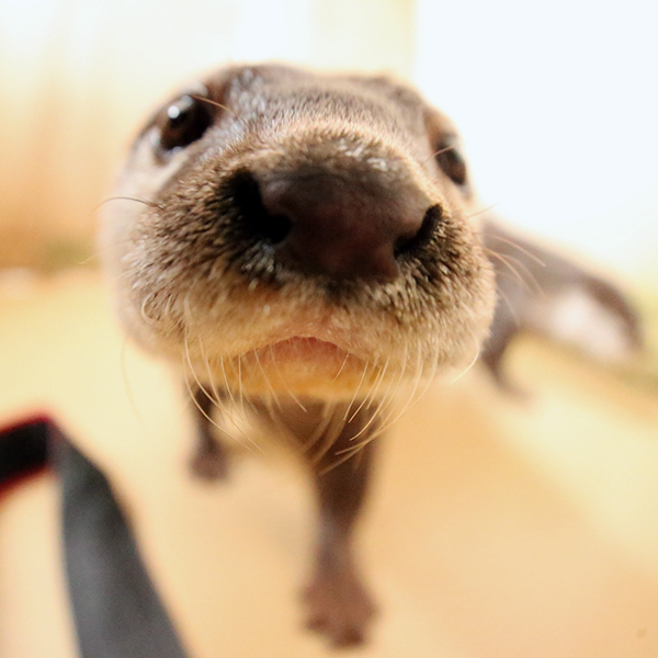 Curious Otter Gets Really Close to the Camera 2