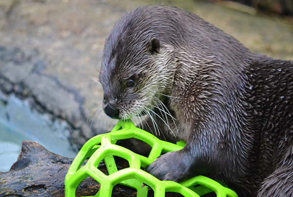 Otter Concentrates on Squishing This Ball
