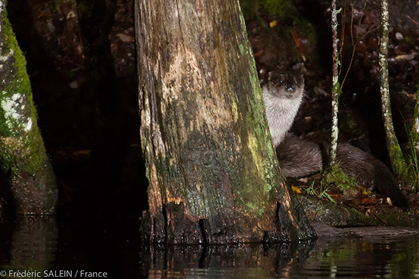 Otter Coyly Hides Behind a Tree