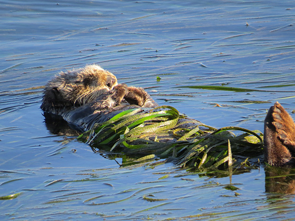 Sea Otter Is All Wrapped Up for a Nap