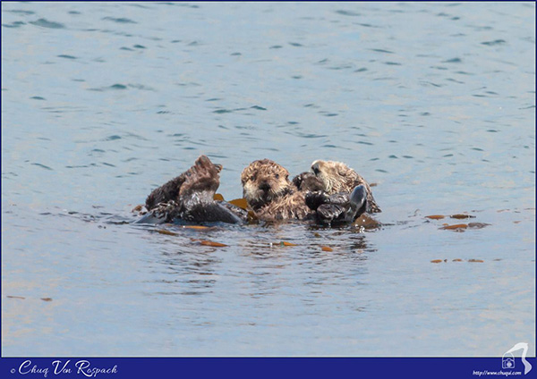 Sea Otter Pup Notices the Photographer