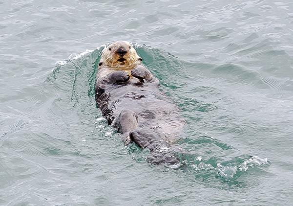 Sea Otter Pushes Backwards in the Water