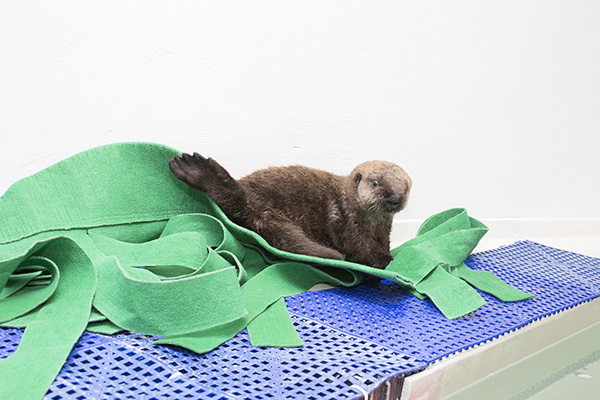 Sea Otter Pup's 681 New Name is Luna! 5