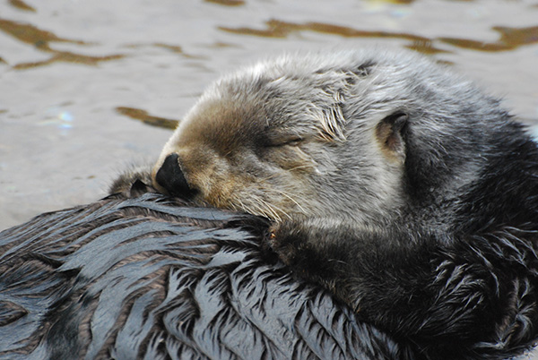 Sea Otter Tucks Her Head to Her Chest for a Nap