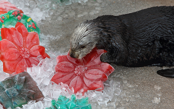 Sea Otters Discover Their Icy Christmas Treats 1