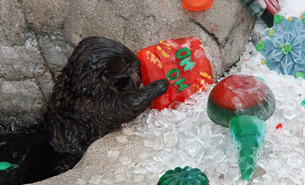 Sea Otters Discover Their Icy Christmas Treats 2