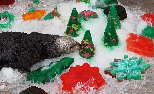 Sea Otters Discover Their Icy Christmas Treats 3