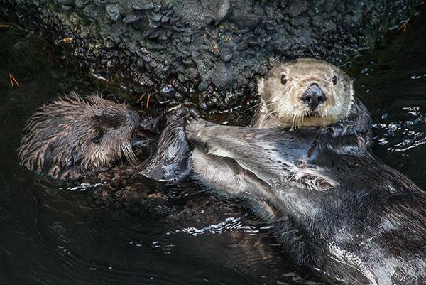 Sea Otters High Five