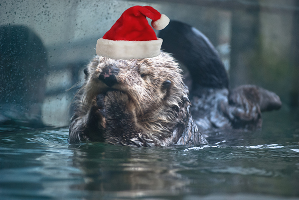 Sea Otters Wally and Katmai Spread Holiday Cheer 1