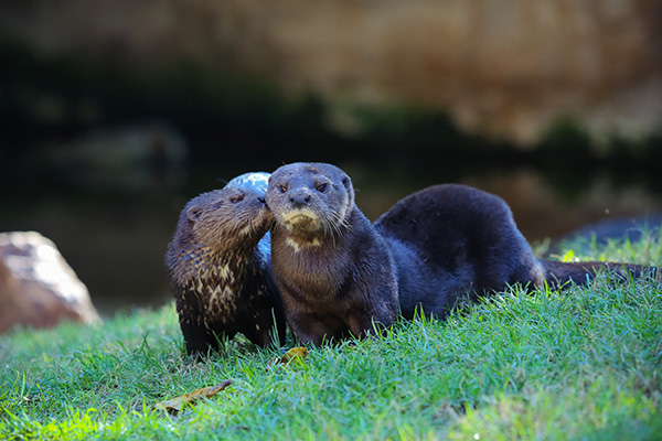 Serious Otter Whispers a Serious Secret to His Serious Friend