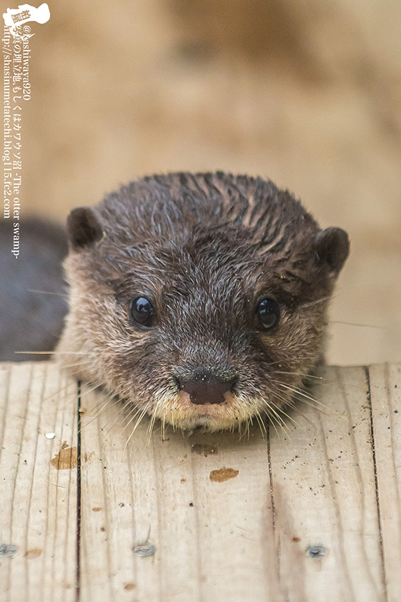 Yes, Little Otter, That Wooden Platform Makes a Good Chin Rest
