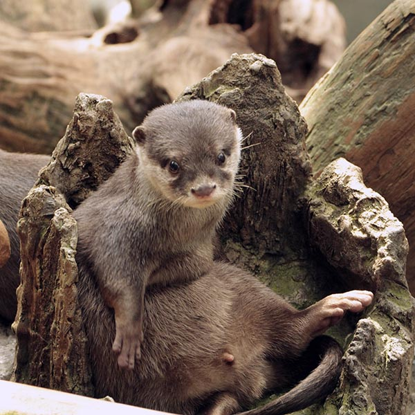 A Hollow Tree Stump Makes a Good Seat for an Otter