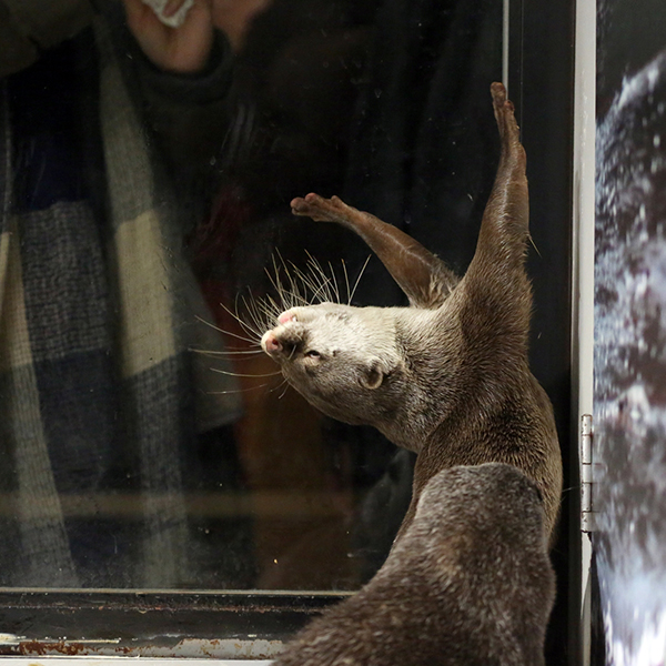 Dramatic Otter Gets Dramatic