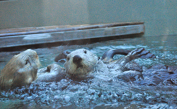 Floating Sea Otter Bumps Into Her Friend