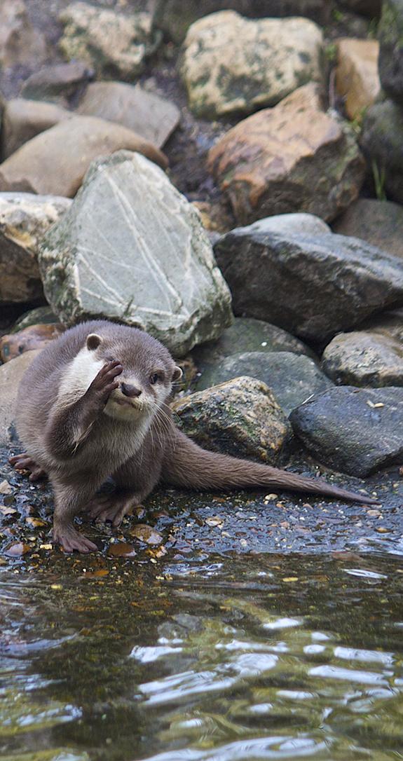 Otter Facepalm