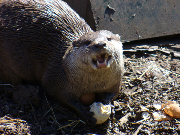 Otter Gobbles Up an Egg and Warms His Belly in the Sunlight 1