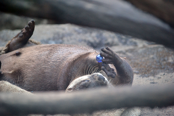 Otter Juggles a Tiny Ball