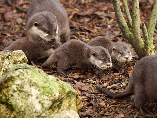 Otter Pups at ZooParc de Beauval 1