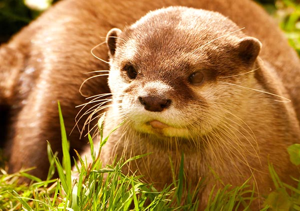 Otter Relaxes in the Grass and Sunlight