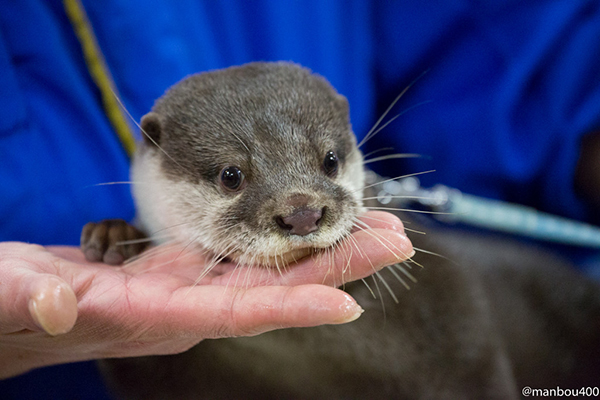 Otter Rests His Chin on Human's Hand