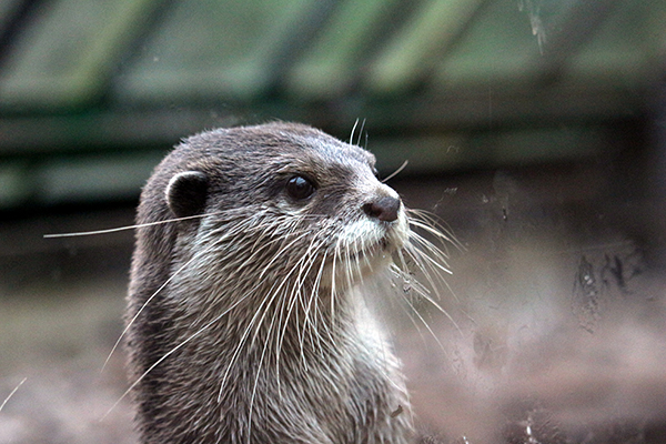 Otter Stands at Attention