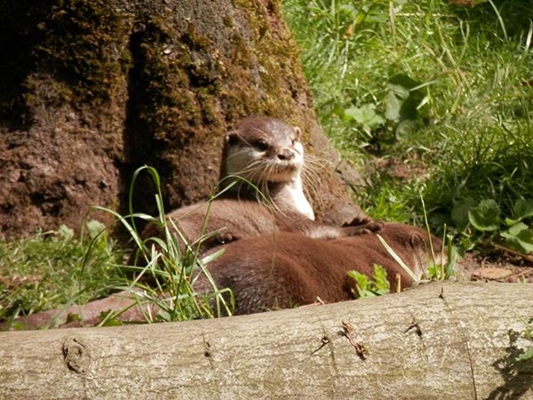 Otters Snuggle Up Under a Tree