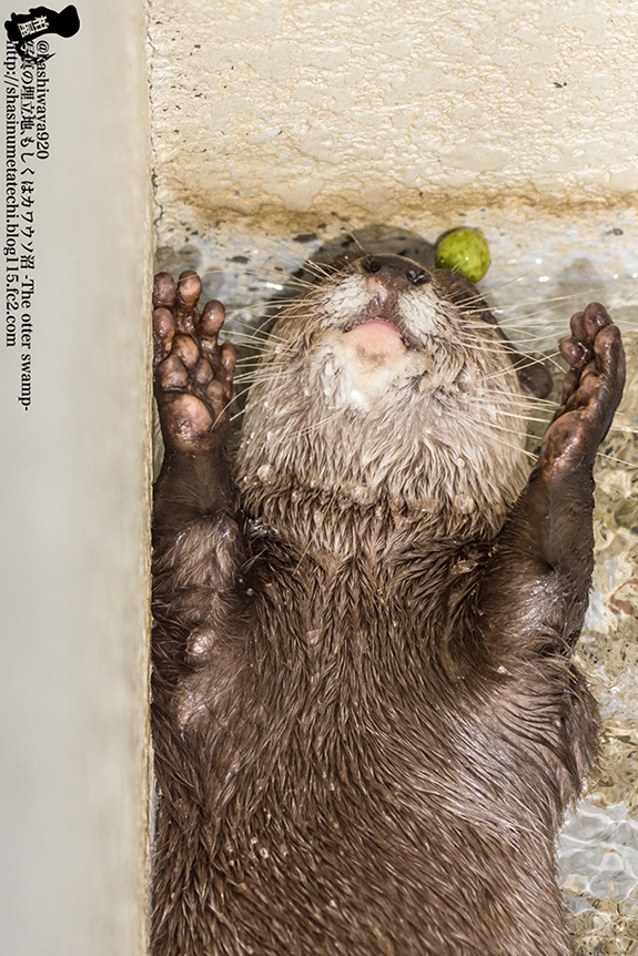 Otter's Juggling Ball Has Fallen Behind His Head