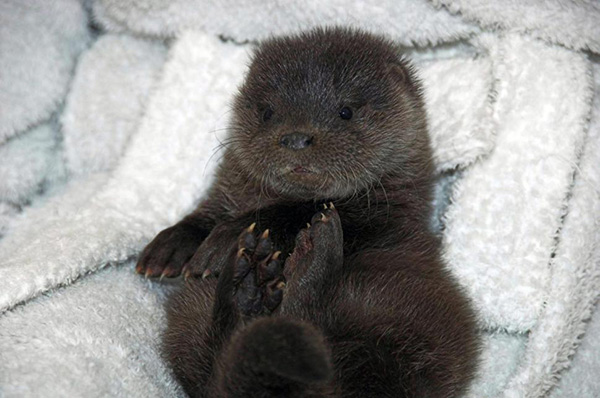 Abandoned Otter Pup Recovers After a Night in the Cold 1