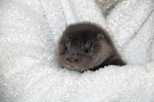 Abandoned Otter Pup Recovers After a Night in the Cold 3