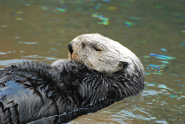 Grumpy Sea Otter Folds Her Paws