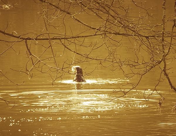 Otter Enjoys a Swim in the Sunlight