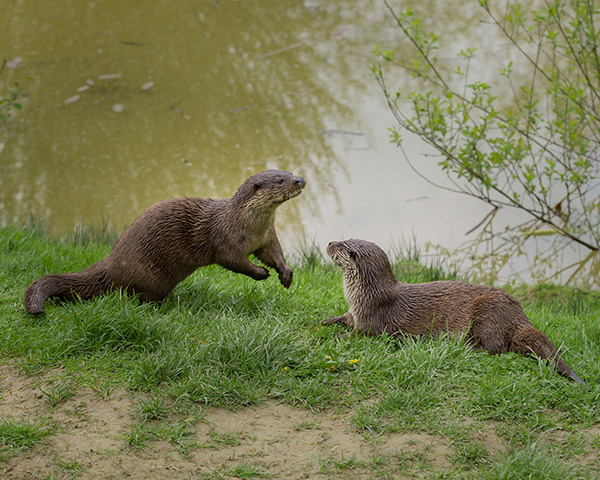 Otter Hops Toward His Friend