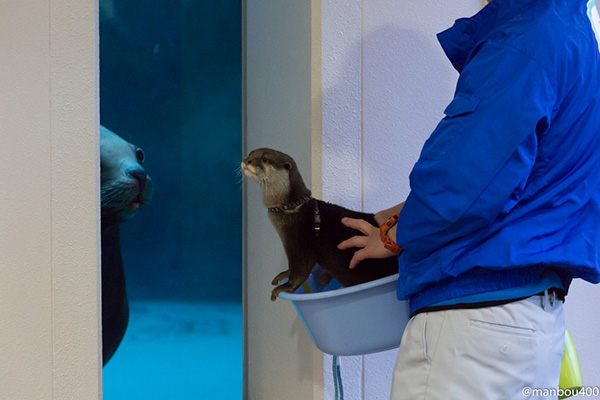 "Otter ""Meets"" a Sea Lion"