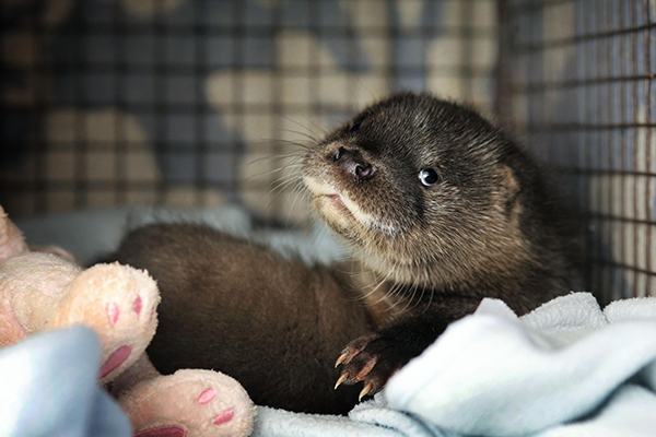 Otter Pup Separated from His Family Finds a New Home 5