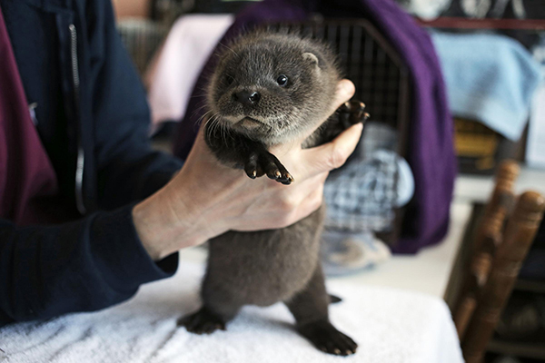 Otter Pup Separated from His Family Finds a New Home 6