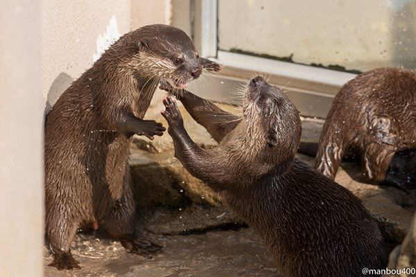 Otter Scares His Friend with His Monster Impression