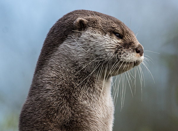 Otter Stands and Observes