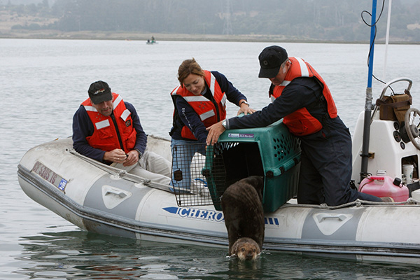 Sea Otter Is Released Back into the Wild