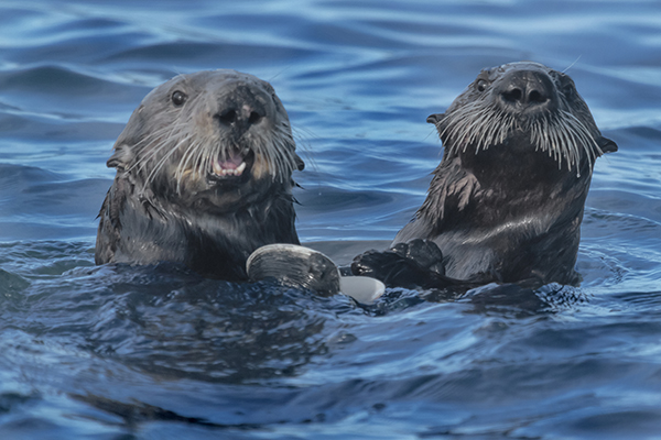 Sea Otter Mother and Pup Share a Clam