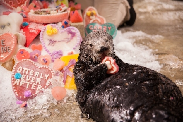 Sea Otters at Georgia Aquarium Celebrate Valentine's Day 3