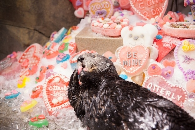 Sea Otters at Georgia Aquarium Celebrate Valentine's Day 4
