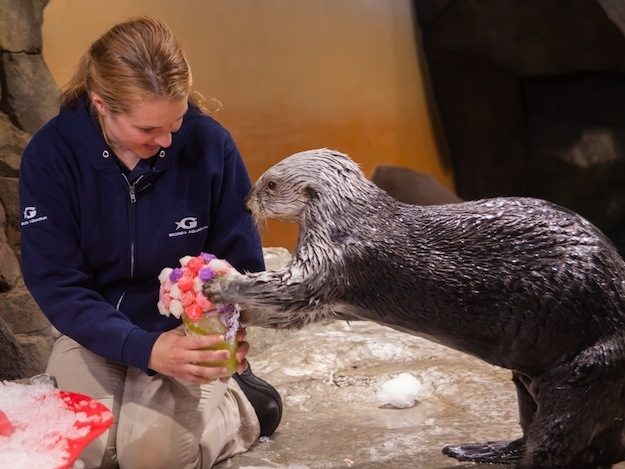 Sea Otters at Georgia Aquarium Celebrate Valentine's Day 5