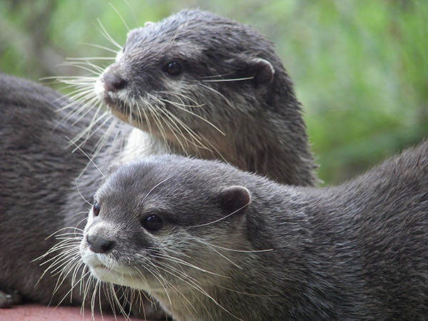 Something Has Caught These Otters' Attention